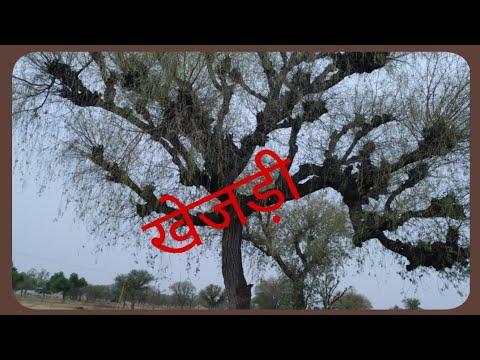 राजस्थान का कल्पवृक्ष#खेजड़ी#state tree of Rajasthan#thar ki shobha#desert plant prosopis cinereria