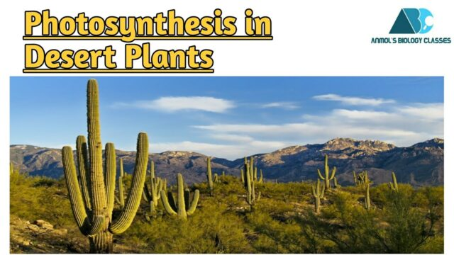 Photosynthesis in desert plants