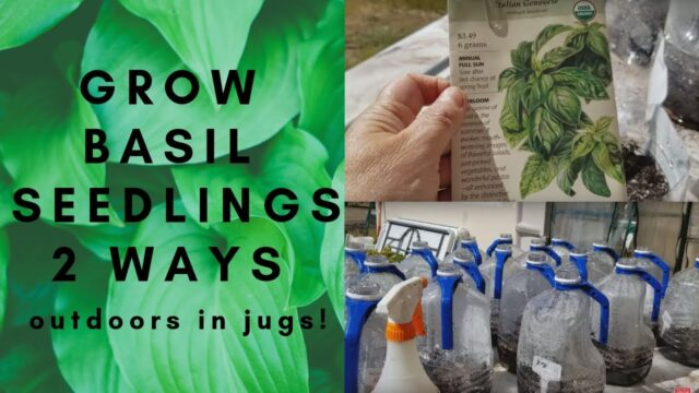 GROWING BASIL FROM SEED | 2 WAYS TO GROW BASIL IN WINTER SOWING MILK JUGS