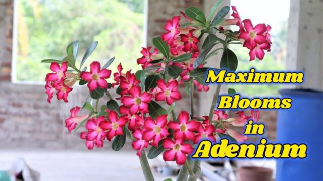 Adenium Care (Desert Rose) Plant total care And How to get Maximum Blooms