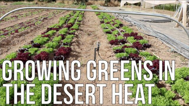 Growing Greens In The Desert Heat!