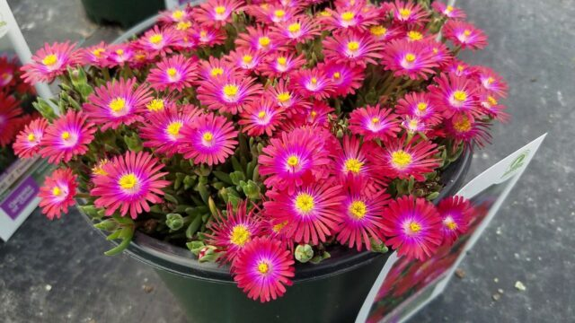 Delosperma Jewel of Desert 'Garnet' (Ice Plant) // Amazingly Bright, Drought Tolerant Perennials