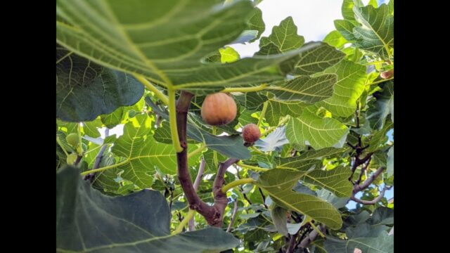 A Few Figs for Dessert
