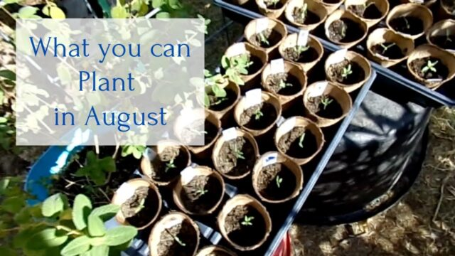 What you can plant in August Desert Garden Zone 9b