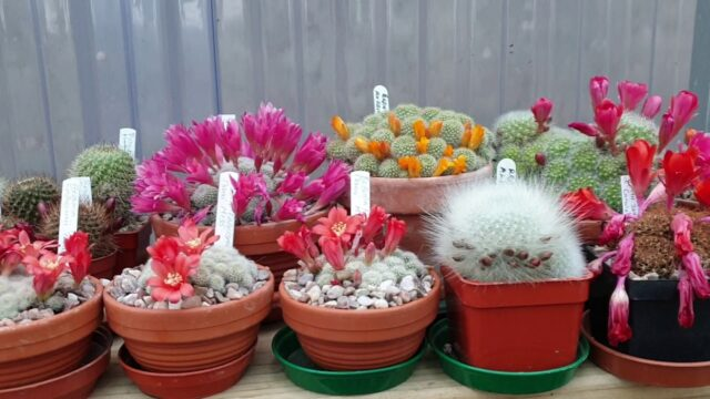 Rebutia and other cacti flowering this time of year in my greenhouse.