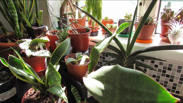 Making a Sansevieria display in our Kitchen & Sansevieria Collection – Snake Plants