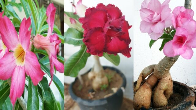 Adenium plant care in tamil/ how to grow dessert rose in Tamil/ dessert rose propagation in tamil