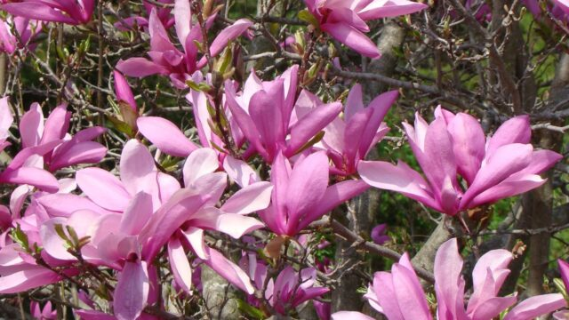 How to grow a Magnolia Tree from seed