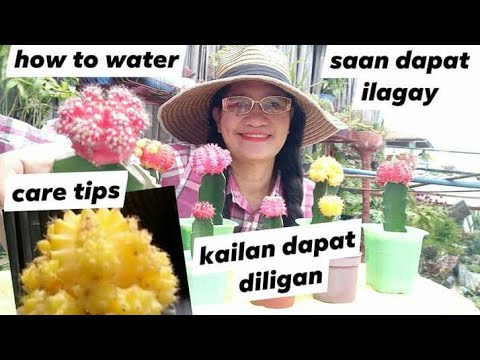 HOW TO TAKE CARE MOON CACTUS | PAANO MAG ALAGA ng  Moon Cactus indoor or direct sunlight