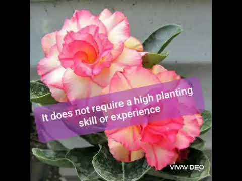 How to plant Adenium Obesum or Dessert Rose