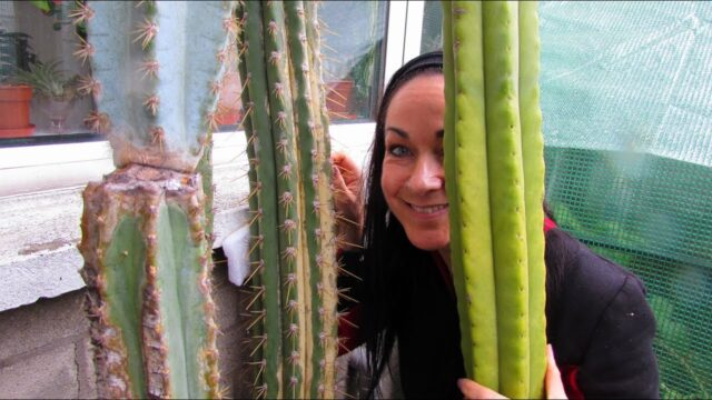 Moving our 3 VERY Tall Cactus Plants from our Stairs into the Yard for Summer