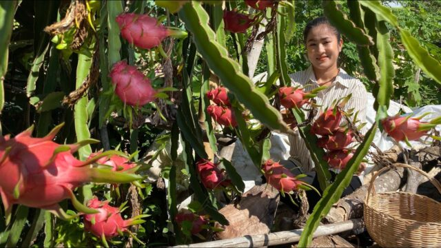 Pick Dragon Fruits In My Village / Fresh Fruits Dessert Recipe / Prepare By Countryside Life TV