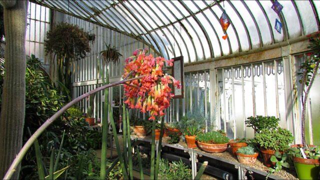 Succulent Plants in beautiful Flower at Belfast Botanic Gardens