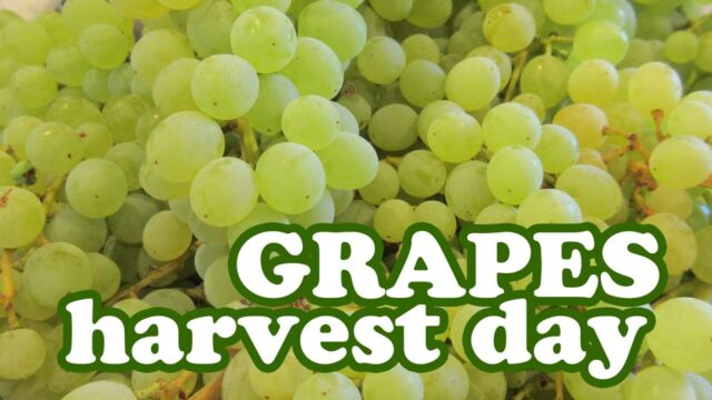 Harvesting Grape Fruits Harvest Season – Growing Thompson Seedless Grapes Variety Grapevine Garden