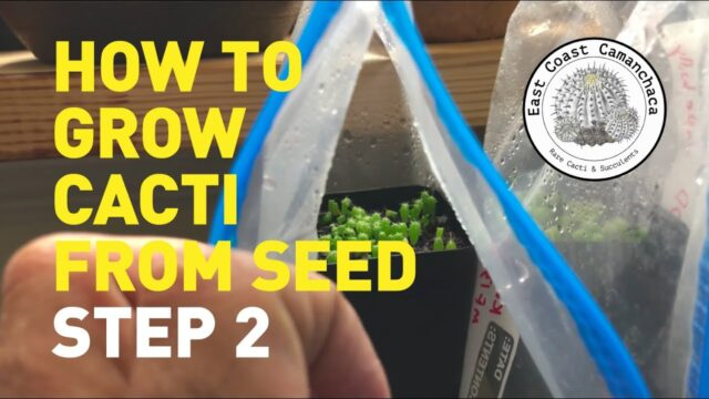 How to grow cacti from seed | Step 2 – WHAT TO DO AFTER GERMINATION