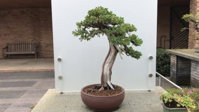 Bonsai Garden Tour at the Chicago Botanic Garden