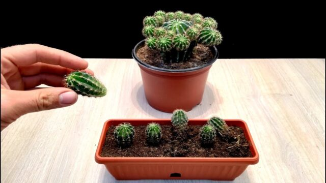 How to grow Baby Cactus very easy