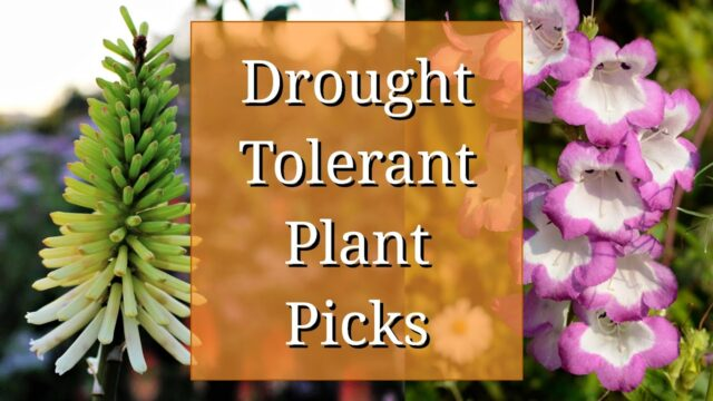 Drought Tolerant Plant Picks