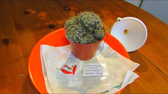 How to Harvest Seeds from Mammillaria Cactus Plants