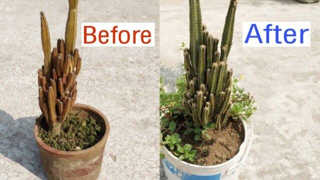 ক্যাকটাসের যত্ন /মাটি তৈরি ও ক্যাকটাস পটিং | Caring for cactus.