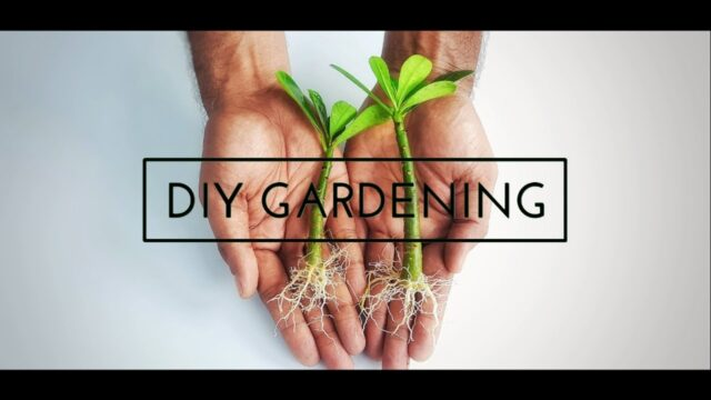 how to grow adenium from cuttings | desert rose from cutting | adenium propagation