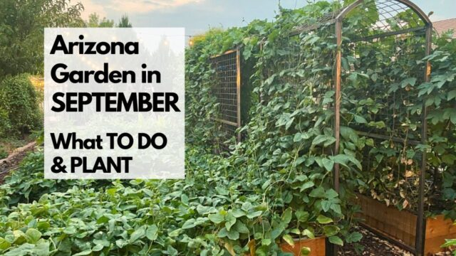 ARIZONA GARDEN in SEPTEMBER: What TO DO & PLANT – plus tips for FALL GARDENING