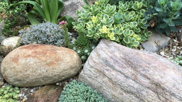 BIG SUCCULENT ROCK GARDEN: Cold Hardy Orostachys Sempervivum Sedum Cacti – GROOVY PLANTS RANCH 2018