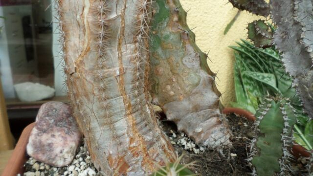 Natural Corking on Cacti & Succulent plants and what causes it
