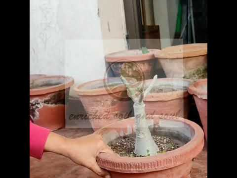 Adenium winter and post winter care – Dessert Rose – Valentine day special.