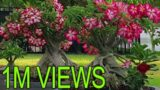 Adenium (Desert Rose) Bonsai – How to train the roots