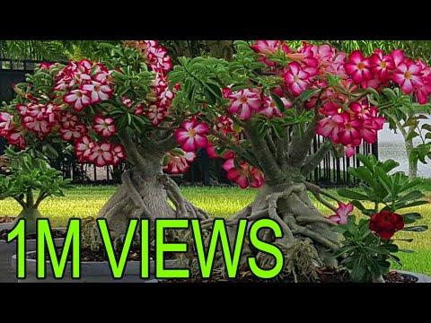 Adenium (Desert Rose) Bonsai – How to train the roots