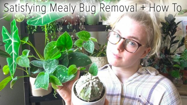 Satisfying Mealy Bug Removal + How To Remove Pests from Houseplants!
