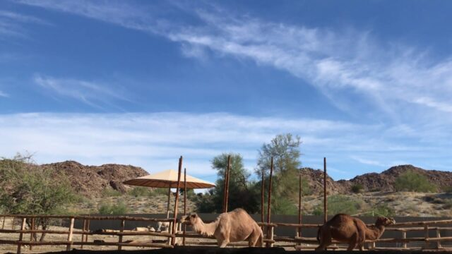 Dromedary Camels at the Living Desert Zoo and Gardens Palm Desert California