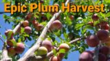 Epic Plum harvest in My High Desert Garden