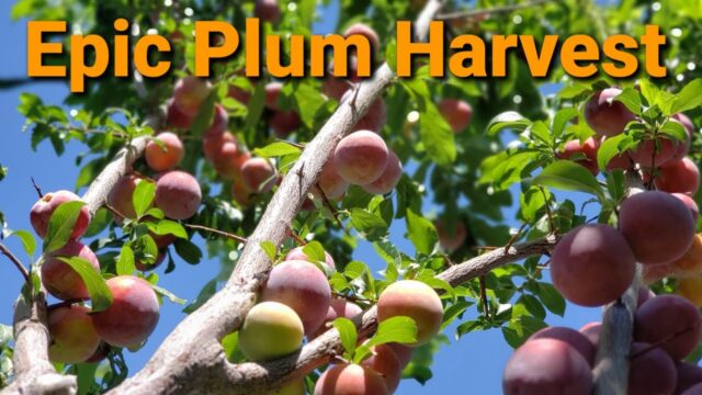 Epic Plum harvest in My High Desert Garden