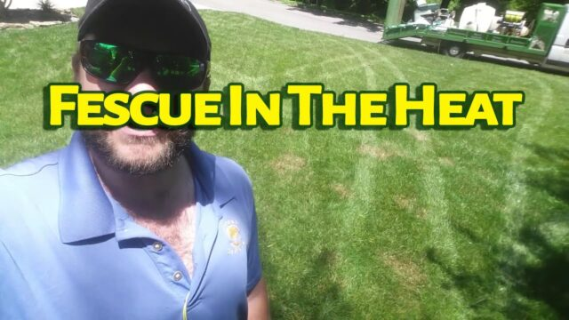 What Happens To Fescue In The Heat