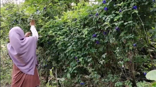 Harvest Butterfly Pea | Making dessert – Aloh Lahwey