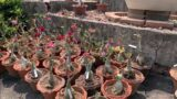 Beautiful Desert Rose Garden