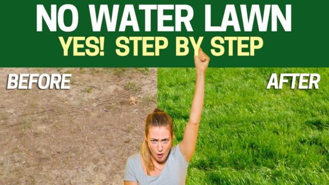 Grow a LAWN without WATER – Step by Step with Results WATERLESS LAWN