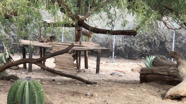 Coyote at the Living Desert Palm Desert California