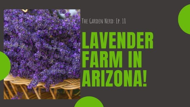 How To Grow Lavender Plant -Farm In Pine, Arizona
