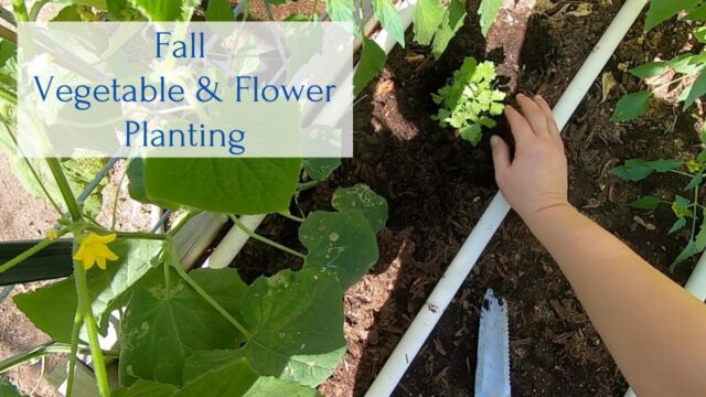 Fall Vegetable & Flower Planting in our Arizona Garden