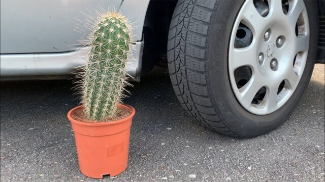 EXPERIMENT: CACTUS VS CAR – Crushing Crunchy & Soft Things by Car!