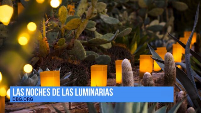 Las Noches de las Luminarias at the Desert Botanical Graden