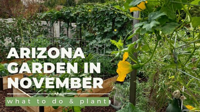 ARIZONA GARDEN in NOVEMBER: What TO DO & PLANT