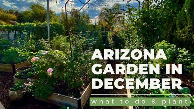 ARIZONA GARDEN in DECEMBER: What TO DO & PLANT plus a GARDEN TOUR