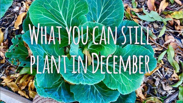 What I'm Planting in December   Phoenix, Arizona Garden