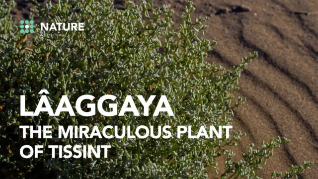 Lâaggaya, the desert plant that fights diabetes