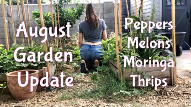 August Garden update   Pruning peppers, Moringa update, harvesting melons, handling thrips – Phoenix