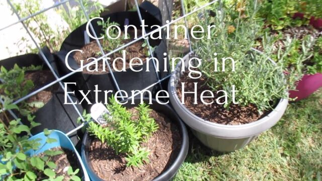 Container Gardening in Extreme Heat Tips Zon9b wk 8